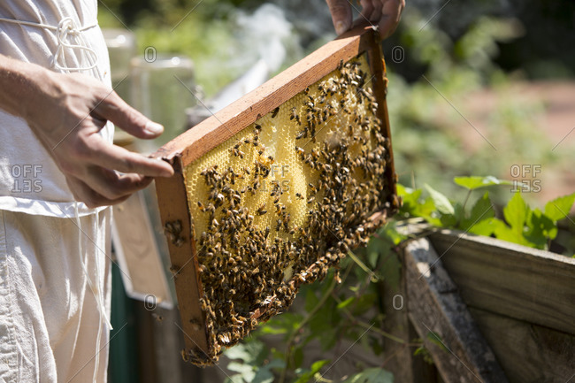 Man's hands holding a beeswax honeycomb frame crawling, honeybees from a beehive