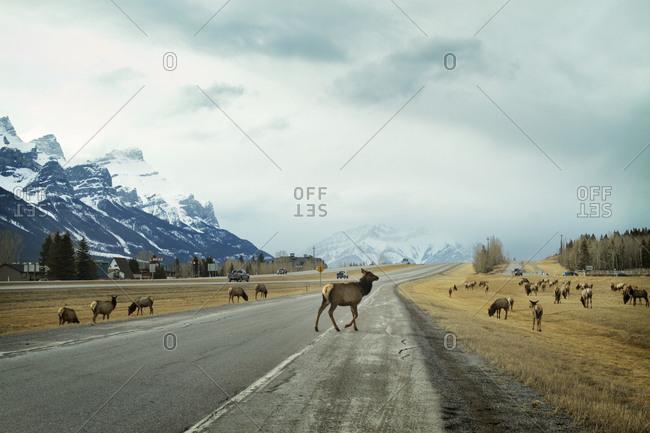Elk grazing on a highway median strip