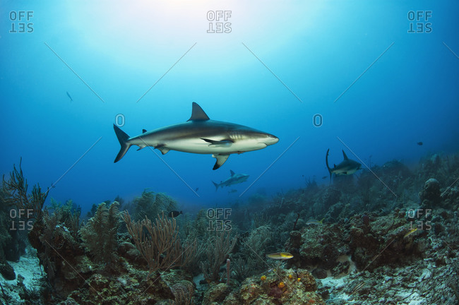 Reef sharks search for food