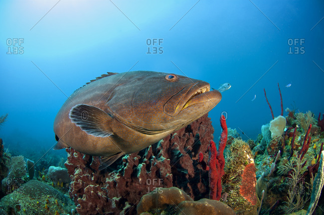 A grouper in a coral reef