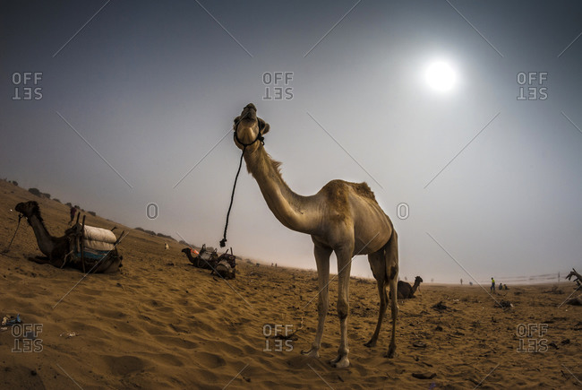 Camel standing in dessert sun in Morocco