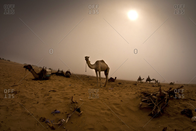 Camel under the dessert sun in Morocco
