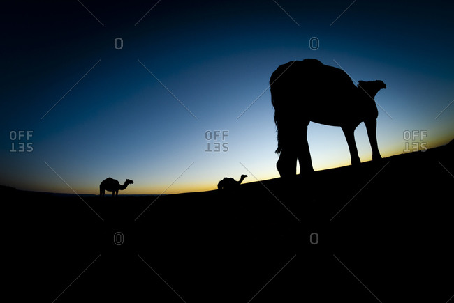 Silhouette of camels in Moroccan desert