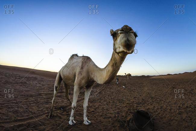 Camel in Moroccan desert