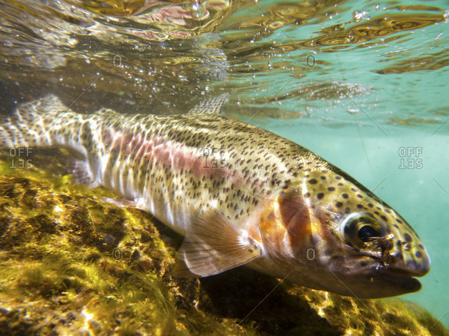 Fly lure enticing rainbow trout