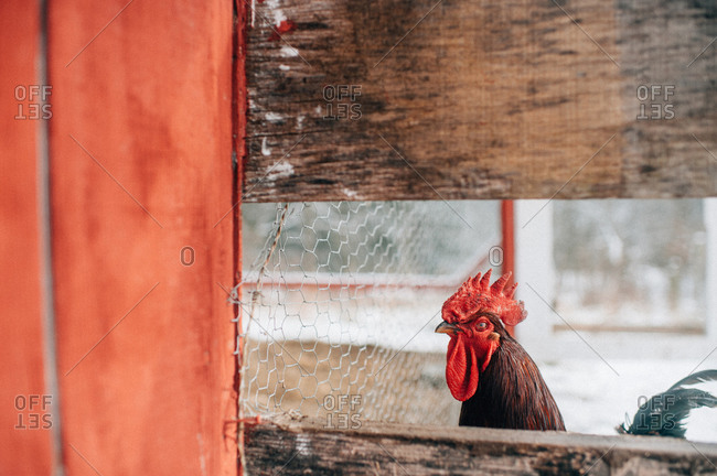 Rooster looking through wood slats