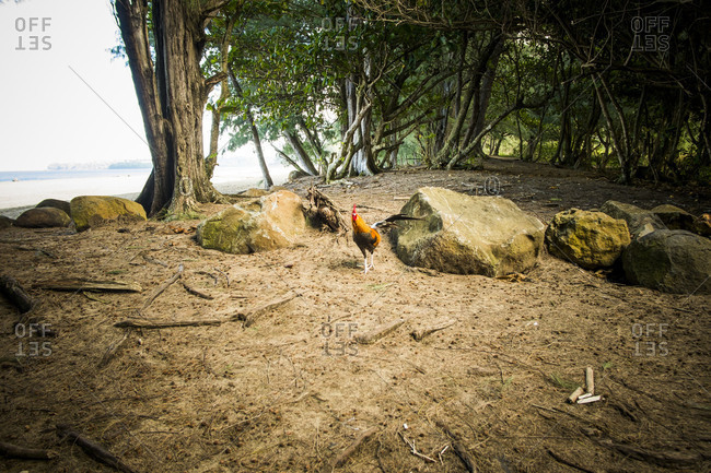 Rooster wandering in a forest