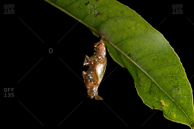 Butterfly chrysalis (Athyma asura) hanging from a leaf