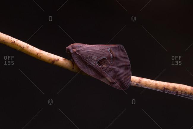 Closeup of a planthopper on a twig