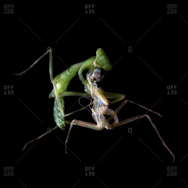 Newly molted green mantis baby