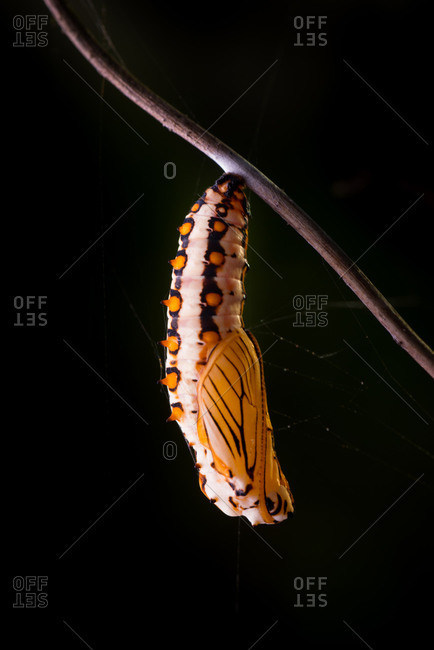 Closeup of a Yellow Coaster butterfly chrysalis (Acraea issoria)