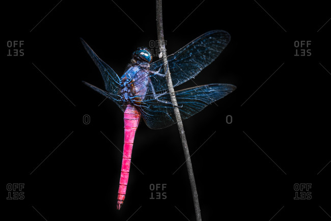 Closeup of a red dragonfly resting on a stick