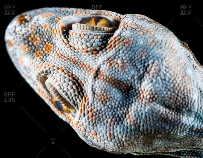 Diagonal overhead view of tokay gecko head