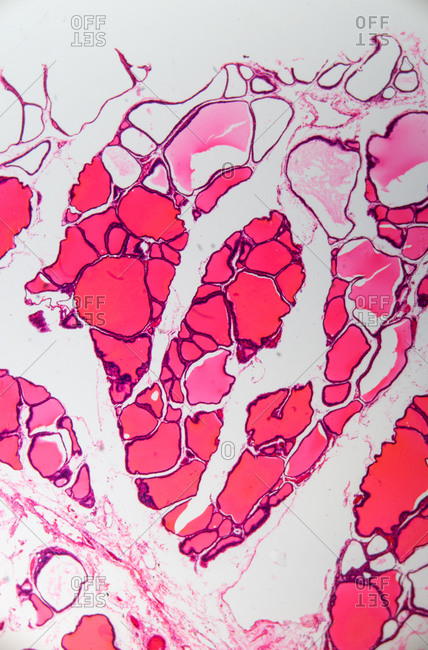Microscopic view of cuboidal epithelium of a mouse