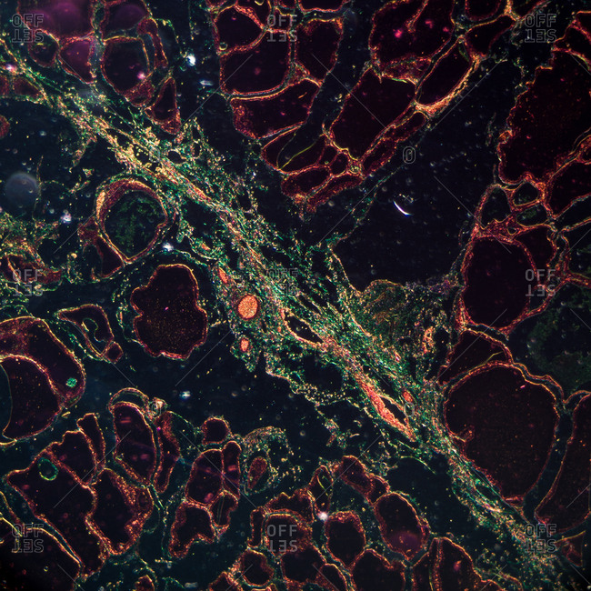 Multicolored microscopic view of cuboidal epithelium of a mouse