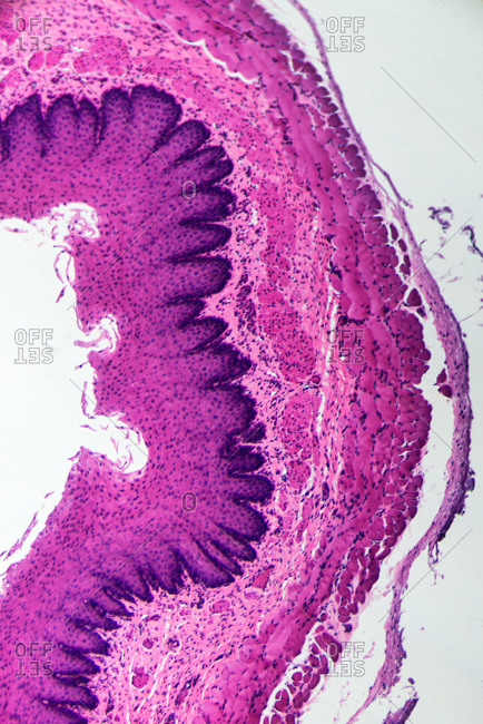 Micrograph of stratified epithelium of a dog