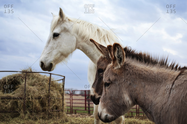 Horse and two donkeys in a corral