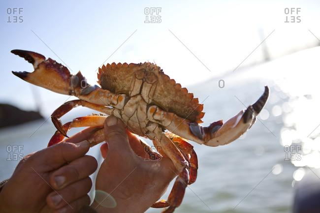 Crab fisherman displaying crab in his hands