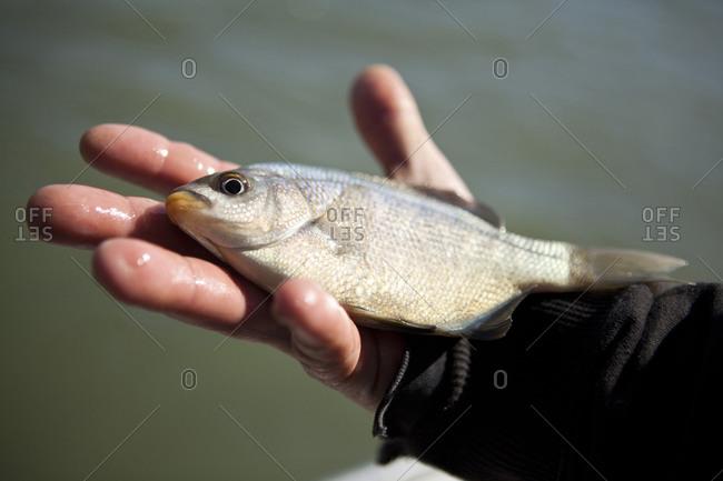 Crab fisherman showing bait fish