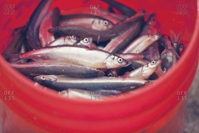 Bucket of bait fish