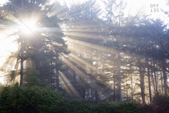 Rays of light coming through the trees in a west coast rainforest
