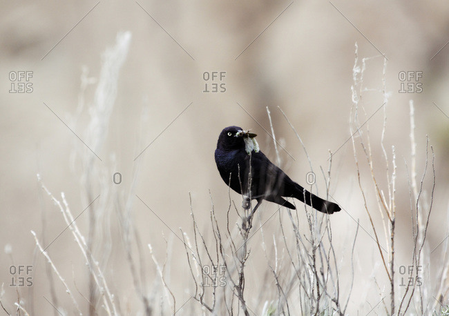 A Brewers Blackbird with a stone fly in his beak on the Canadian prairies