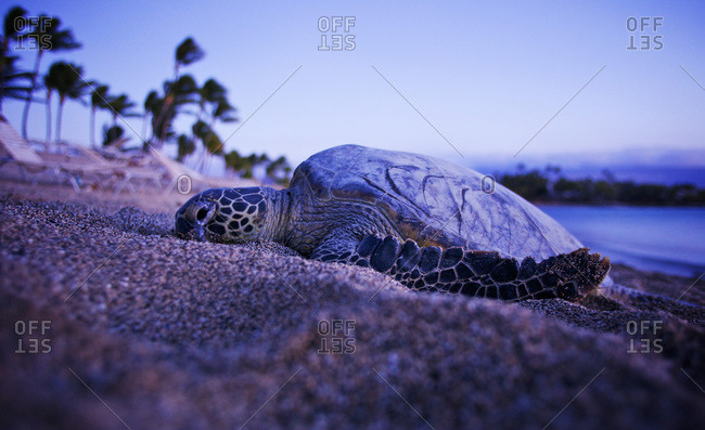 A sea turtle comes crawls onto the beach at sunset on the big island of Hawaii