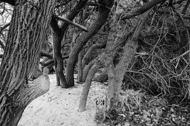 Old dead trees lay on the volcanic beach near Kona on the Big Island of Hawaii