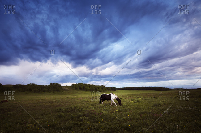 A paint horse walks across the prairies as a storm brews above his head