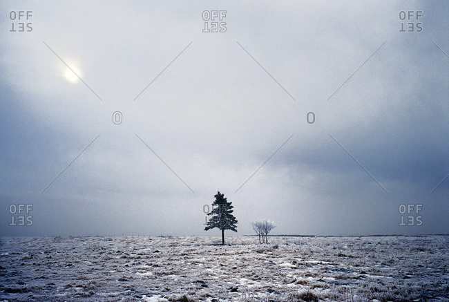 A solitary pine stands in a winter field in southern Alberta, Canada
