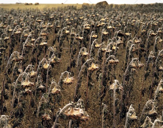 An old dying sunflower field on the Canadian prairies near Conquest, Saskatchewan, Canada