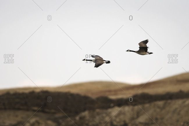 Various birds in a rural wetland area in southern Alberta