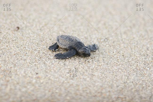 Leatherback sea turtle crawling on a coast