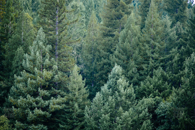 Forest of evergreen trees - Offset