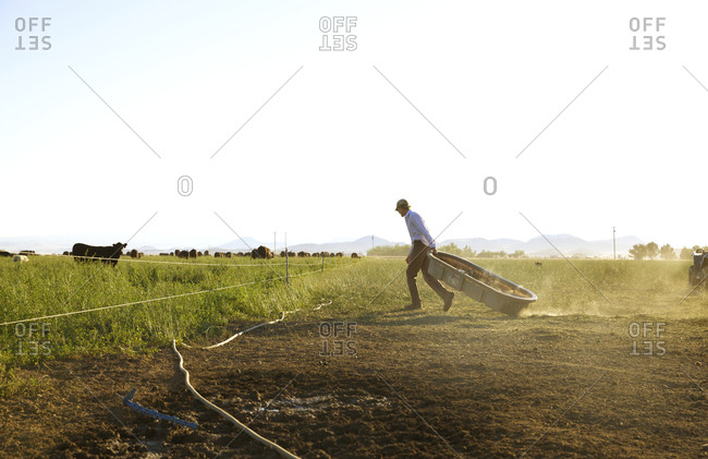 Farmer moving watering trough towards cows in pasture