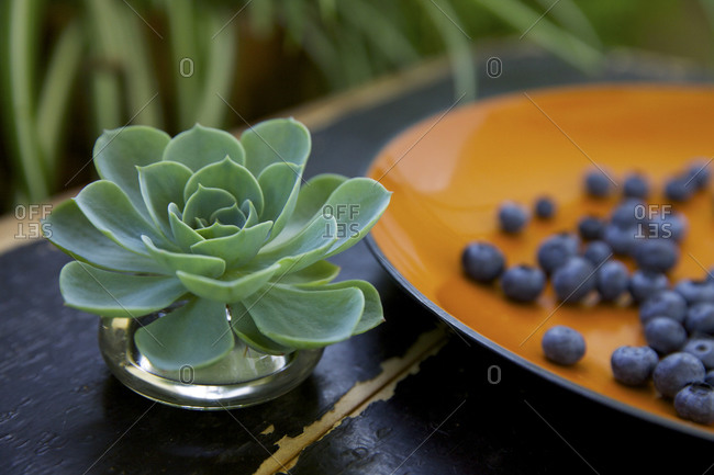 Succulent plant next to plate of blueberries outside