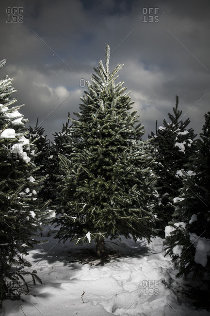 Evergreen trees in a Christmas tree farm