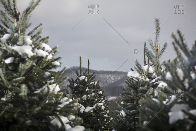 Evergreen trees in a tree farm during winter