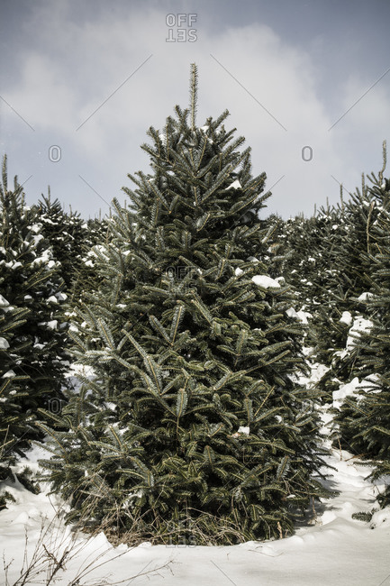 Pine trees in a Christmas tree farm