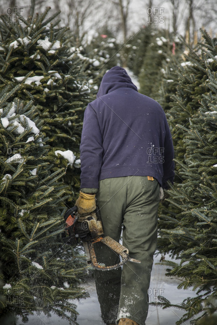 Worker carries a chainsaw through the rows of a Christmas tree farm
