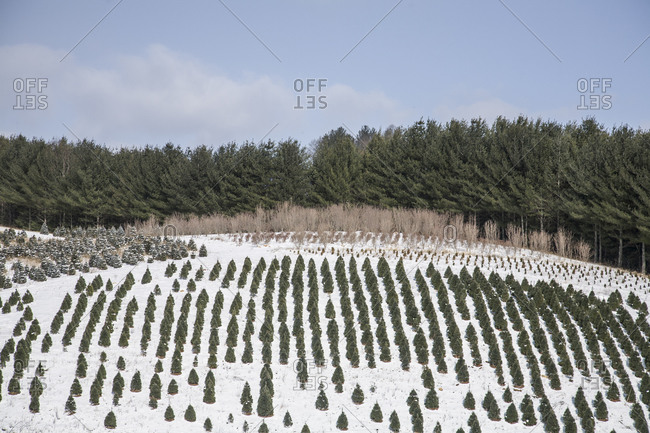 Rows of evergreen trees in a tree farm in North Carolina
