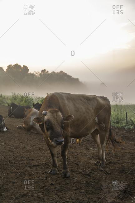 Cows in a dairy farm at dawn