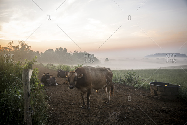 Cows in the morning mist in a dairy farm