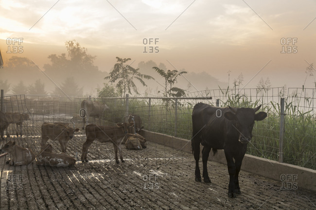 Calves outside a milking parlor in a dairy farm