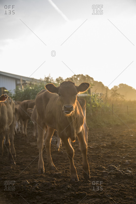 Calves stand in the early morning sun