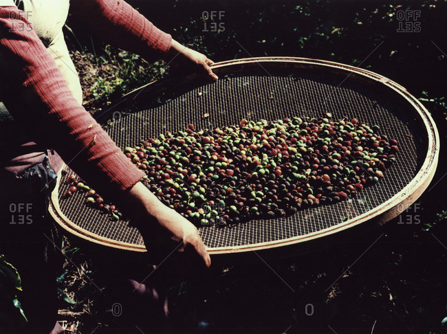 Person holding coffee cherries in a sieve