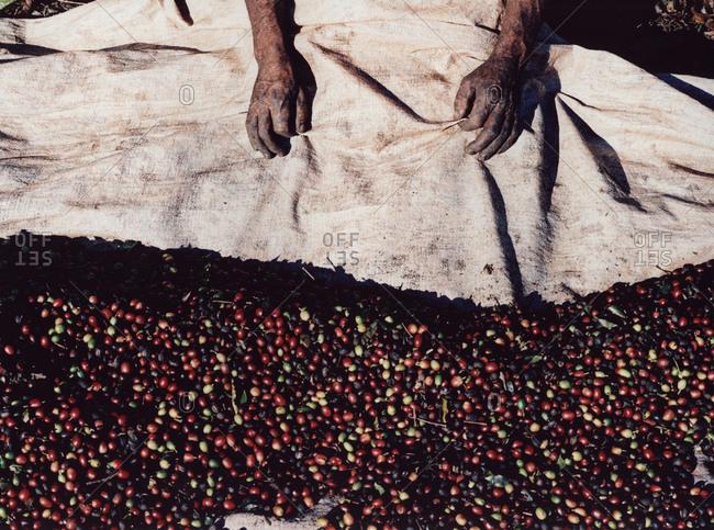 Person harvesting coffee cherries