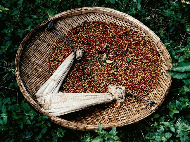 Coffee cherries in a basket