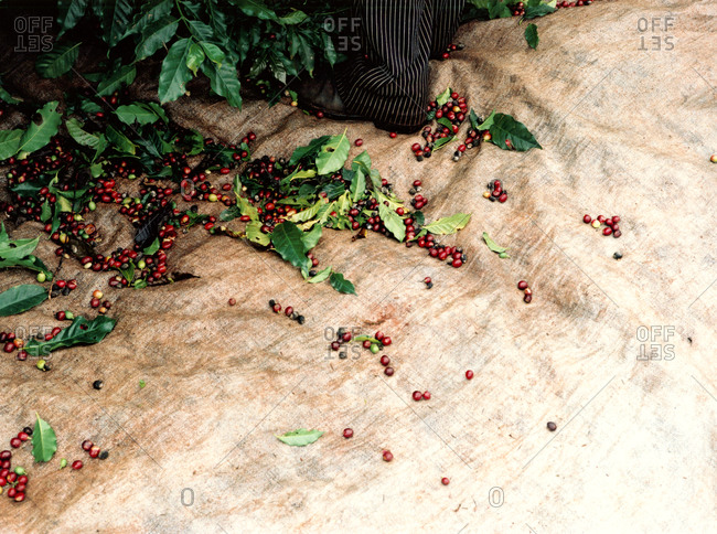 Person collecting coffee cherries