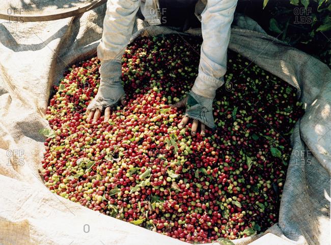 Person gathering coffee cherries